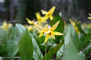 Trout Lilly4